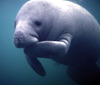 The wandering Manatee