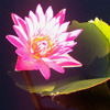 pink lotus in evening light