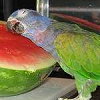 a parrot that loves watermelon
