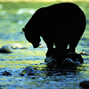 A black bear fishing in a river
