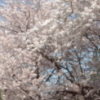 Cherrytree from South Korea