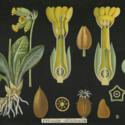 PrimulaOfficinalis.jpg