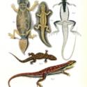 Horn Expd Zoology pl 9.jpg