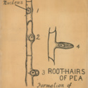 Root Hairs Of Pea Formation of Young Branch.jpg