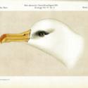 Pl 1X Albatross Bnt Antarc 1910.jpg