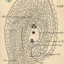 Ovule LS Caltha.jpg