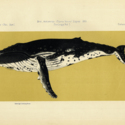 British Antarctic Whale 1910.jpg