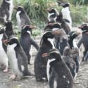 Cabinet 18 penguins snares A4 size.JPG