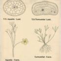 Ranunculus Fluitans.jpg
