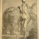 Tabulae Sceleti et Musculorum Corporis Humani