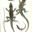 Horn Expd Zoology pl 10.jpg
