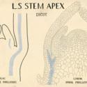 LS Stem Apex Dicot.jpg