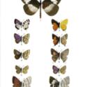 Ruwenzori butterflies.jpg
