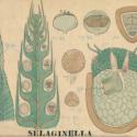 Selaginella.jpg