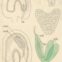 Capsella (Dicot) Embryo.jpg