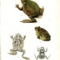 Horn Expd Zoology pl 12.jpg