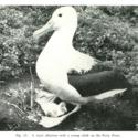 Royal Albatross Chatham Islands 1954.jpg