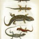 Horn Expd Zoology pl 11.jpg