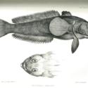HMS Erebus plate 3 fish.jpg