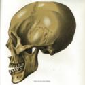 Novara skull.jpg