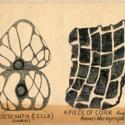 Tradescantia Cells.jpg
