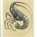 Lobster HMS Challenger-0001.jpg