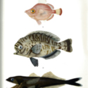 Michael Sars plate FISH 1.jpg