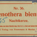 Oenothera biennis Nr36 Ad45.jpg