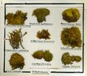 Orthotrichaceae