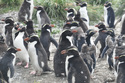 Colony of Snares crested penguins (Eudyptes robustus), Snares Islands