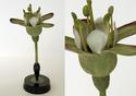 Ribes grossularia or uva-crispa (Gooseberry)