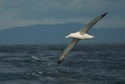 Southern royal albatross (<em>Diomedea epomophora</em>)