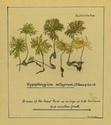 Hypopterygium setigerum