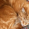 Ginger-cat-sleeping_thumb