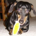 Holistic veterinarian Dr. Carol Osborne, DVM shares a note from a dog owner and his 8 year old Dachshund's experience on Paaws Pet Vitamins.