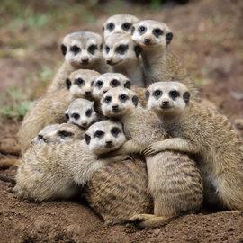 Normal_meerkats_2134301i