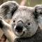 Thumbnail_koala