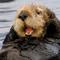 Thumbnail_southern-sea-otter