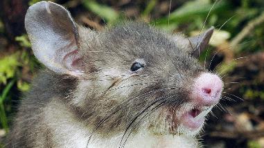 Descubren una nueva especie de roedor en Indonesia