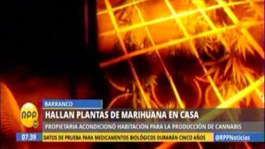 Cultivaban marihuana dentro de vivienda en Barranco