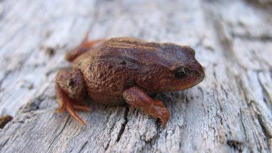 Descubren nueva especie de rana terrestre en el Santuario Nacional Megantoni