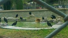 Oso es acechado por gallinazos en Parque de las Leyendas
