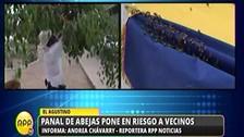 El Agustino: Policía Ecológica retira enjambre de abejas