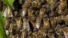 Picaduras de abejas pueden ser mortales: ¿Qué hacer?