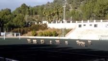 Twitter: equipo español descubrió a ovejas que pastaban en su estadio