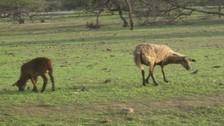 Campos de Olmos reverdecen y ganaderos son los más beneficiados