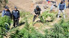 Incineran más de cuatro mil plantaciones de marihuana en Piscobamba