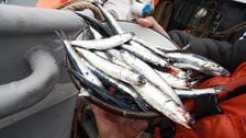 Decomisan 55 mil kilos de anchoveta extraídos en zona prohibida