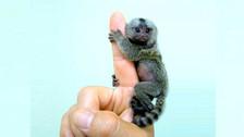 China: este pequeño mono del tamaño de un dedo es vendido como mascota