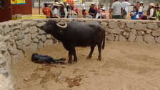 Video: nacimiento de búfalo sorprende a visitantes del Parque de las Leyendas